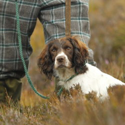 Springer Spaniel at work