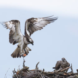 Scottish Osprey
