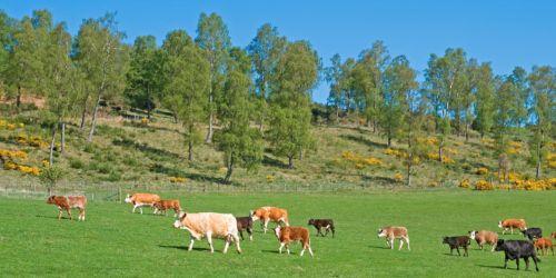 Glen Tanar Cattle