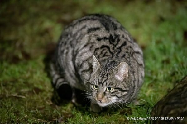 Lookout for 'wildcats' at Glen Tanar!