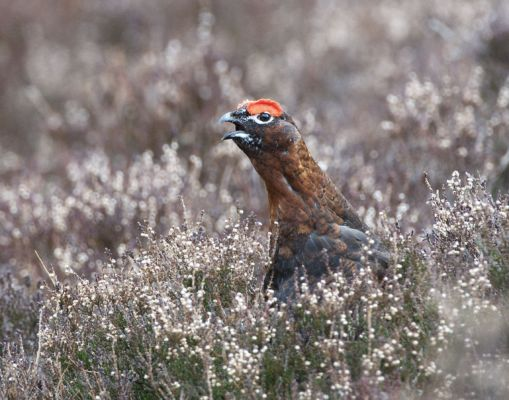 016 Red Grouse Male Calling
