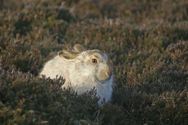 058 Mountain Hare
