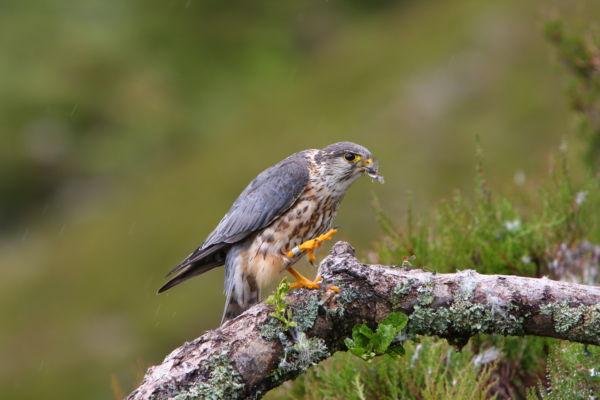 Merlin Male