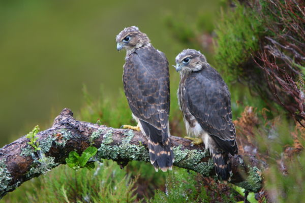 Merlin Two Chicks