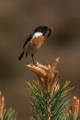 Stonechat Male With Caterpillar